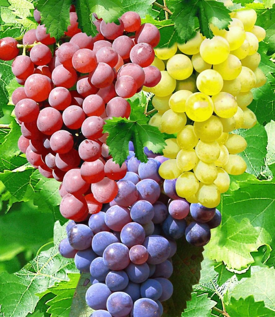Weintrauben Weinreben Weinstock Weintrauben Stammchen Mein