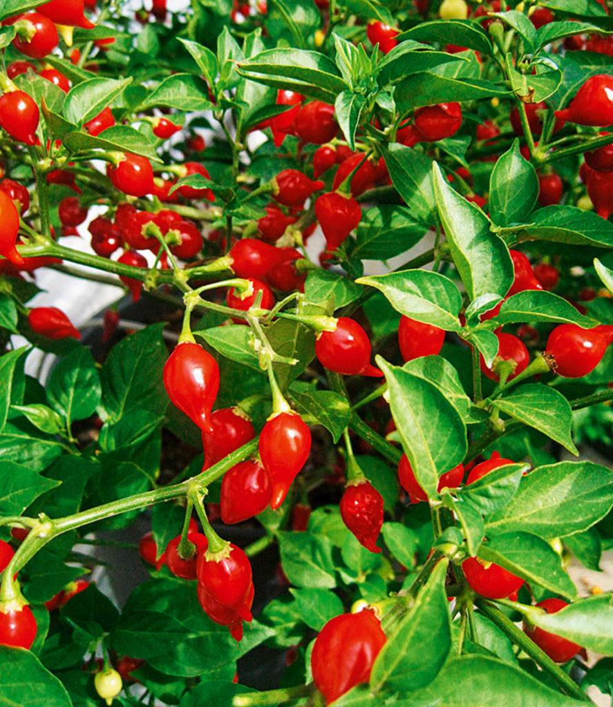 Baldur Garten Veredelter Roter Snack Paprika Blumen Pflanzen