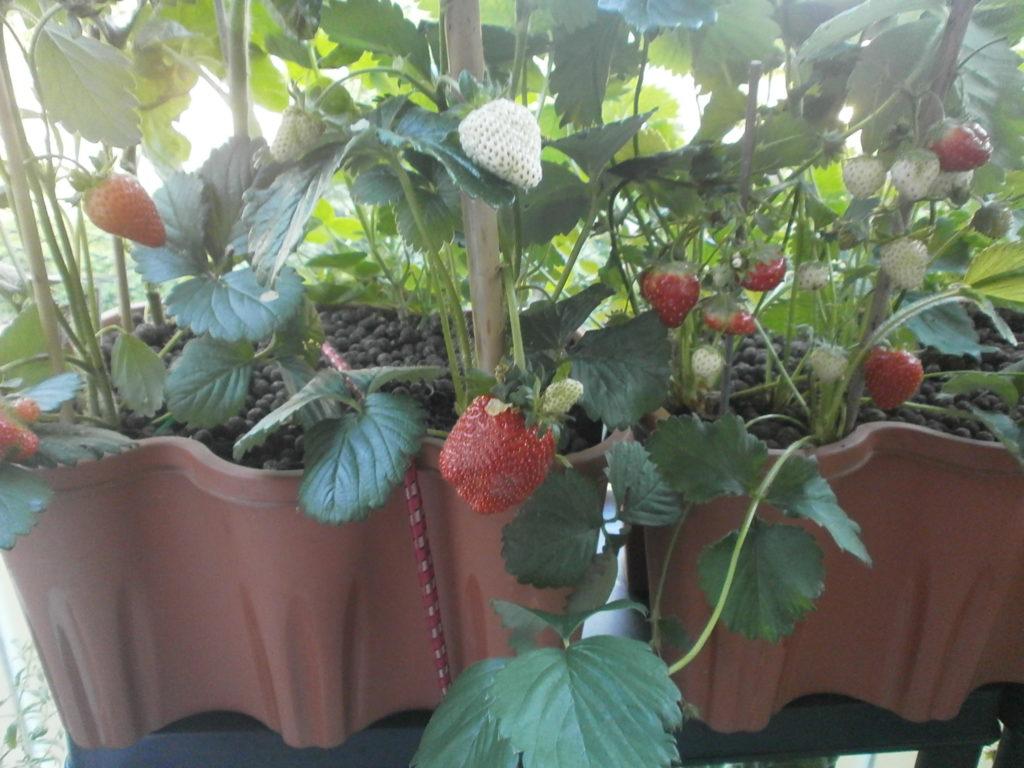 Außergewöhnlich Erdbeeren - Mein Nasch-Balkon @WF_23
