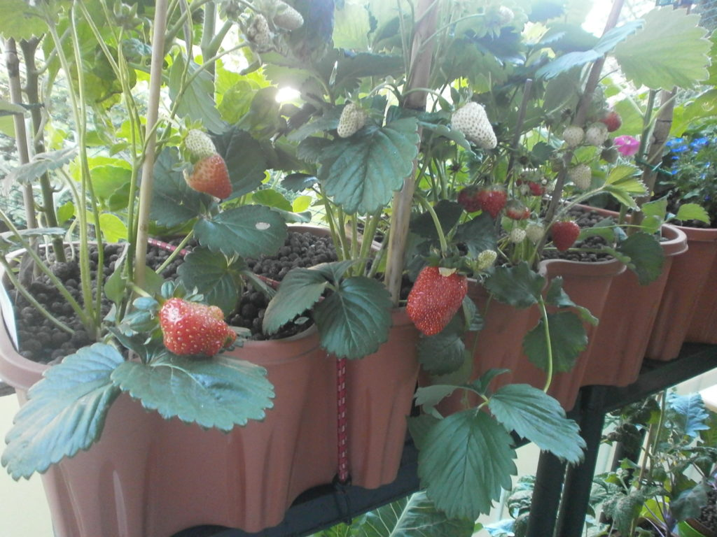 Berühmt Erdbeeren - Mein Nasch-Balkon &UN_87