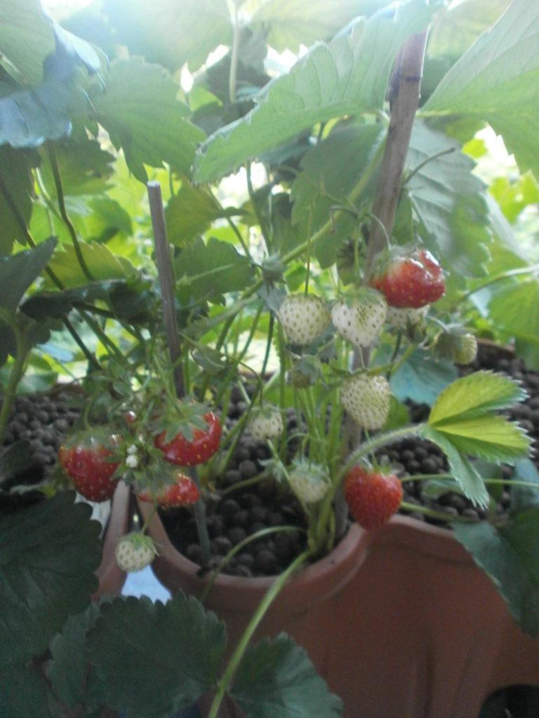 Berühmt Erdbeeren - Mein Nasch-Balkon #JT_87