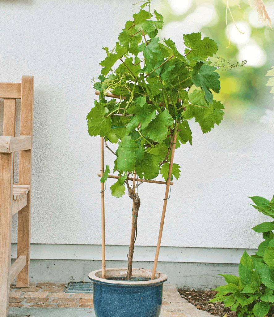 Weinreben weintrauben weinstock mein nasch balkon for Weintrauben im garten anbauen